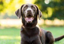 cane con il mantello marrone scuro