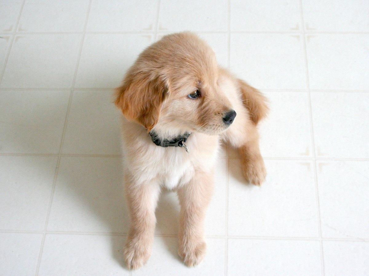 cagnolino con collare scuro