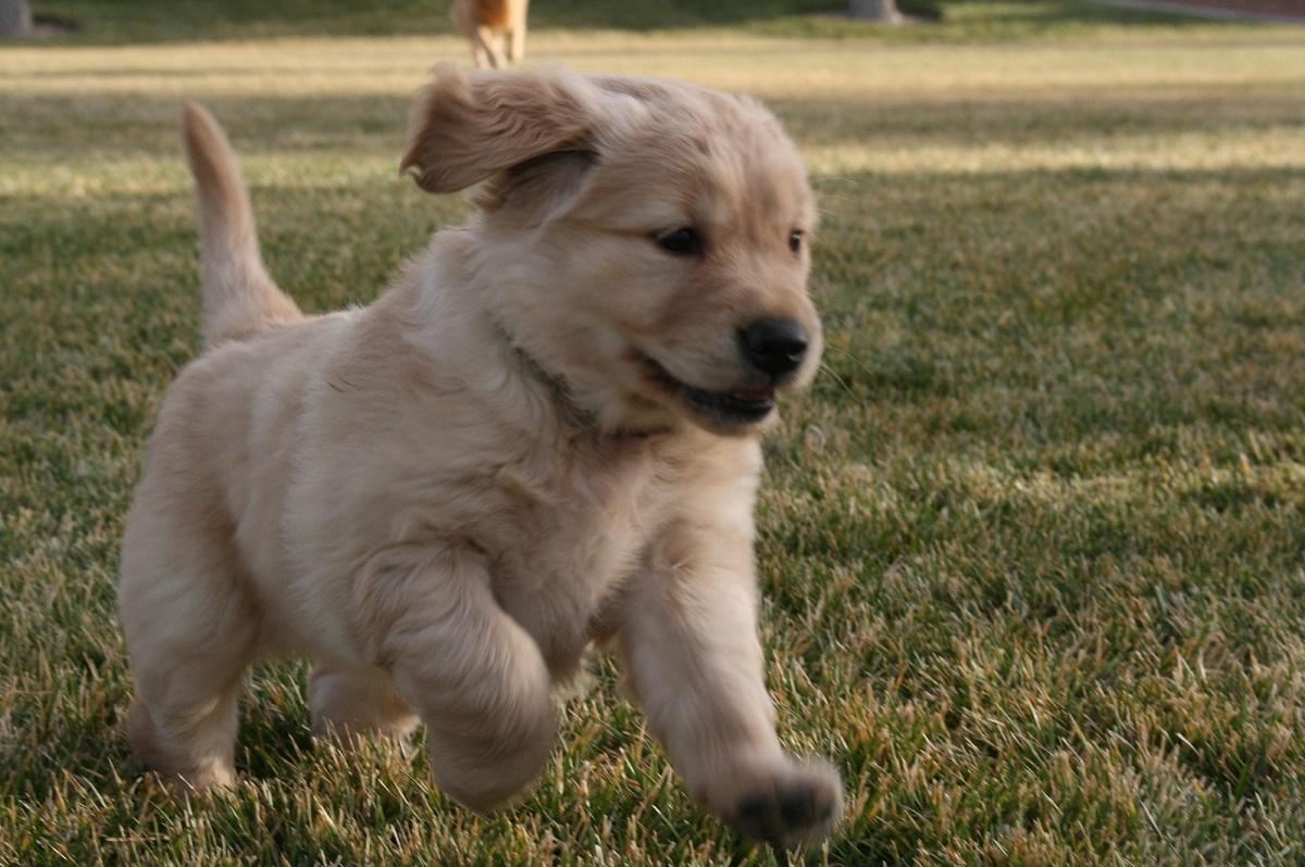 cagnolino che corre