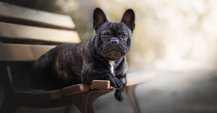 pearl bulldog francese