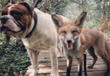 marley cane bulldog inglese fa amicizia con volpe