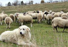 cane da pastore maremmano