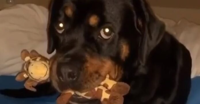 nala cucciola rottweiler gioca con giraffa pupazzo