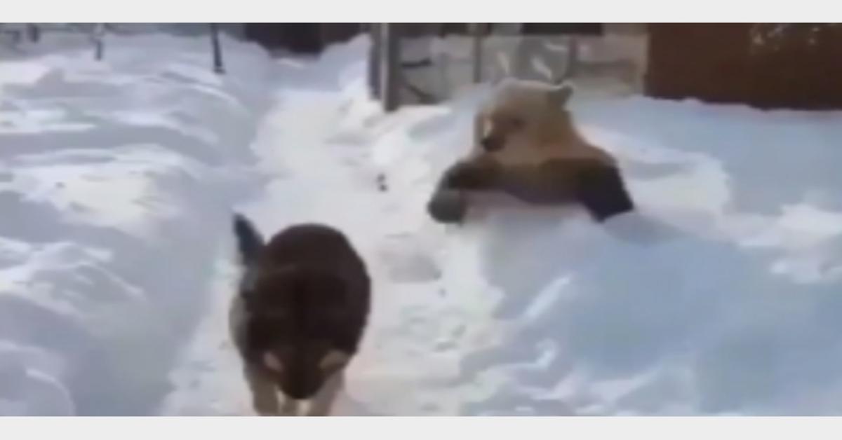 L'orso giocherellone infastidisce il cane che lo ignora (VIDEO)