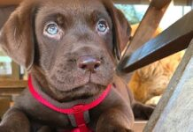 oscar cucciolo labrador stupisce social
