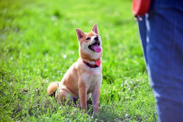 cane shiba inu che guarda il suo padrone