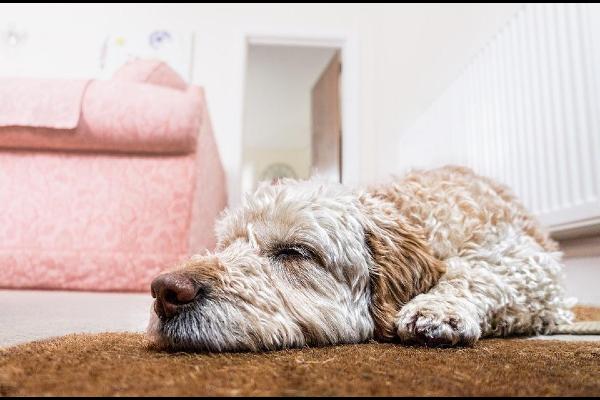 Perchè i cani gemono quando si sdraiano? Tutte le ragioni di questo gesto