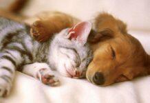cagnolino e gattino dormono insieme