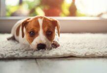 cucciolo di cane colpevole