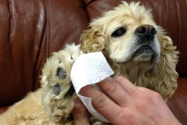 Salviette per il cane, fanno male? Come e quando bisogna usarle