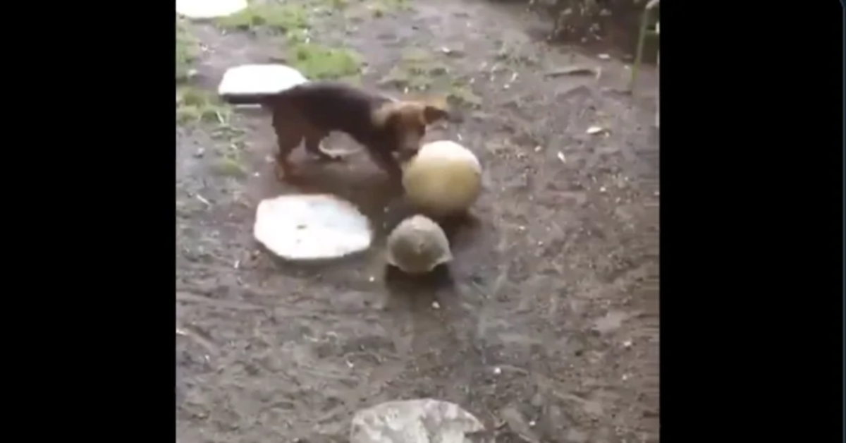 bassotto e tartaruga giocano insieme