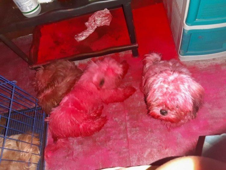 Tre cuccioli giocano con una scatola di trucchi e si ritrovano tinti di rosa (FOTO)