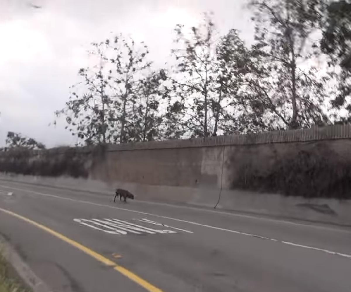 tyrion cane attenzione vetture veloci