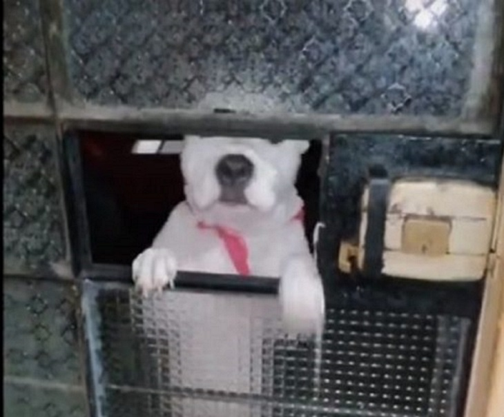 Un cucciolo riesce astutamente ad aprire la porta e a fuggire (VIDEO)