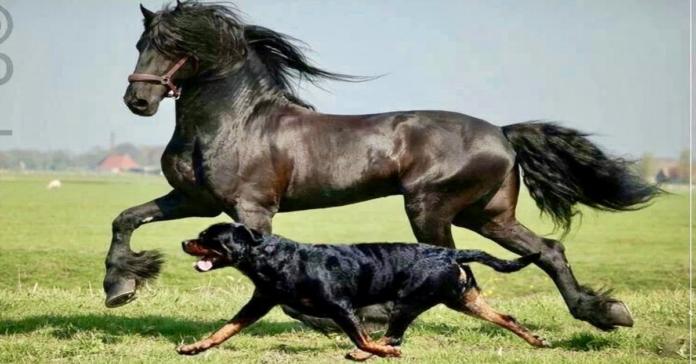 Rottweiler e cavallo