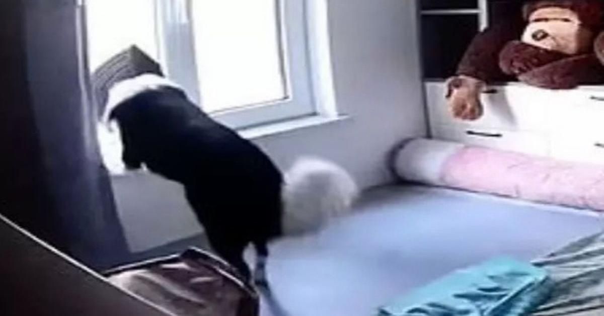 Il cane Naughty ripreso da una telecamera mentre aspetta il ritorno della padrona (VIDEO)
