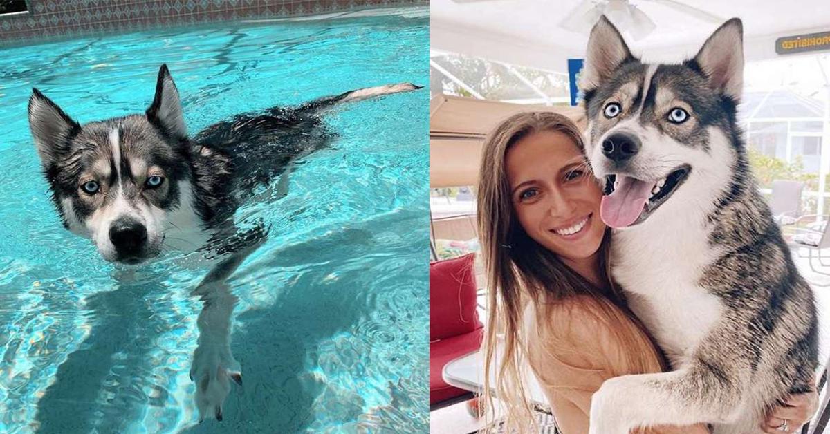 Il cucciolo di Husky Blue, che entra in piscina per dispetto quando viene rimproverato (VIDEO)