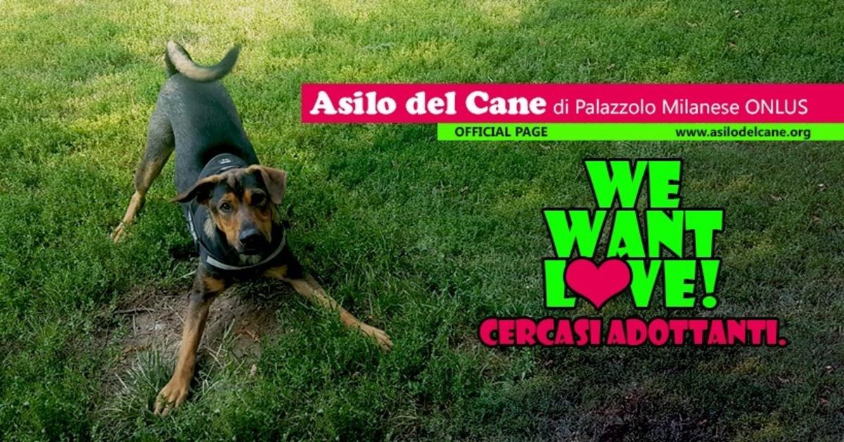 Asilo del Cane Palazzolo Milanese: Dylan, un cane che cerca casa