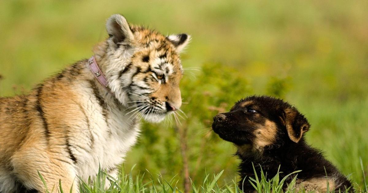 tigre e pastore tedesco