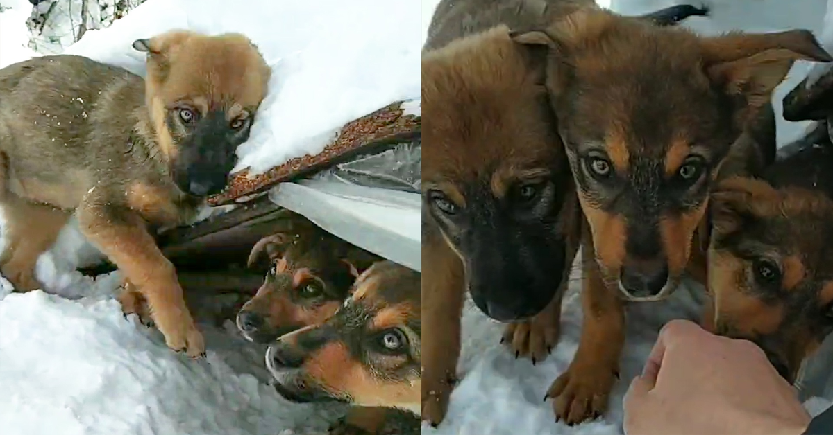 Il salvataggio di nove cuccioli di cane abbandonati nella neve (VIDEO)