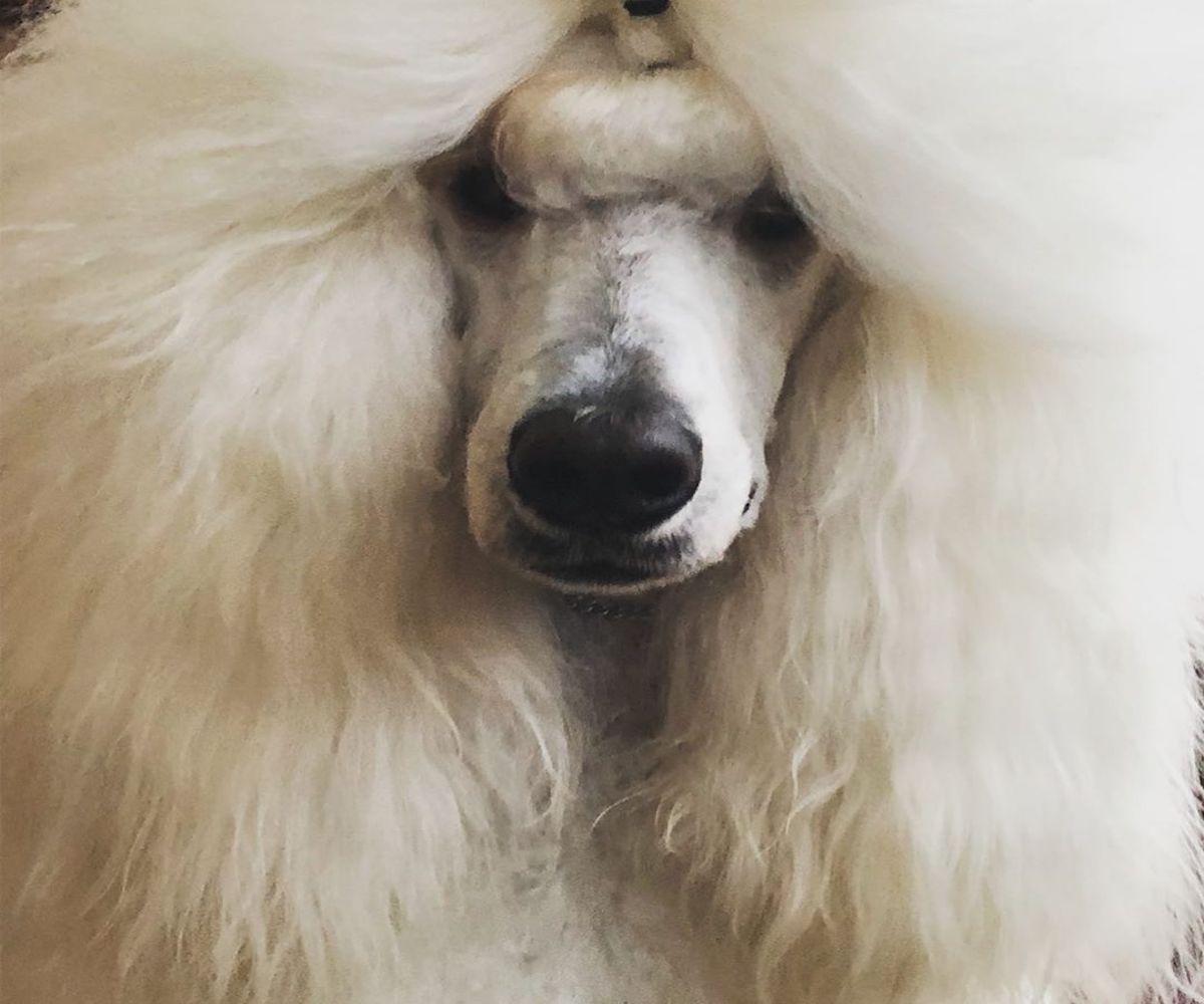 Barbone, carattere e temperamento: cosa sapere sull'indole di questo bellissimo cane