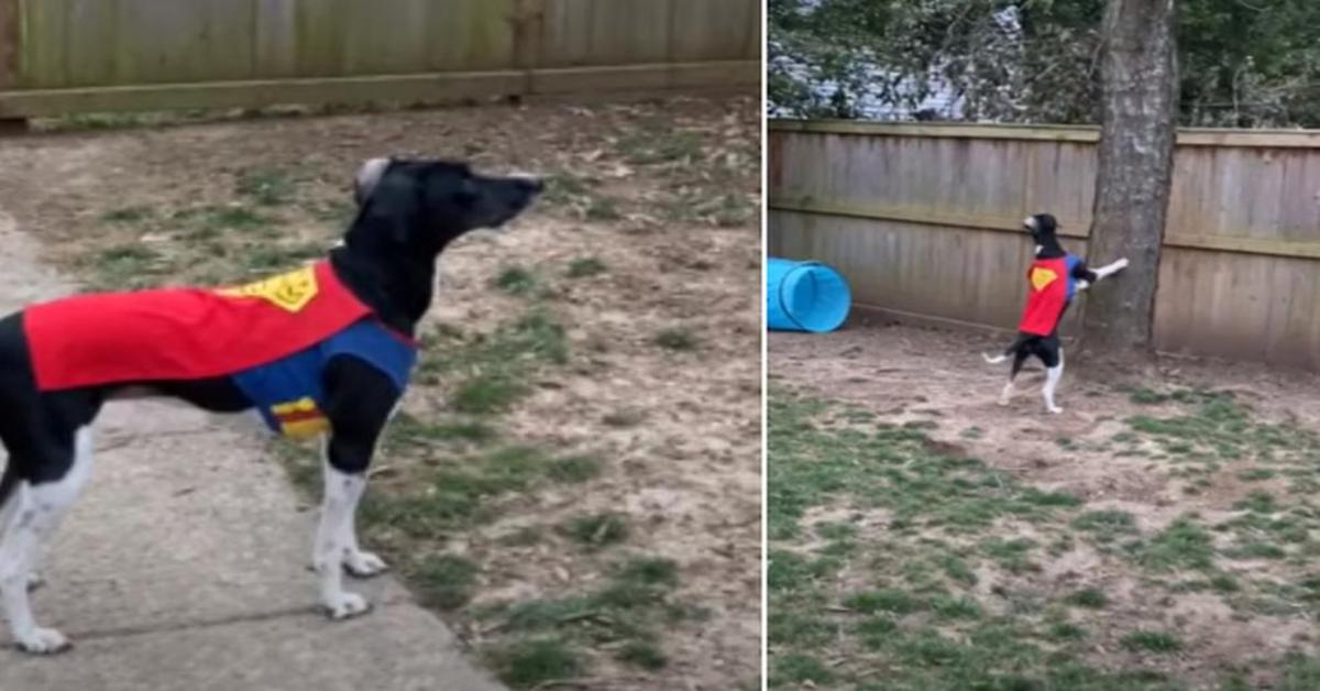 Cucciolo di cane vestito da Superman difende la sua casa da uno scoiattolo (VIDEO)