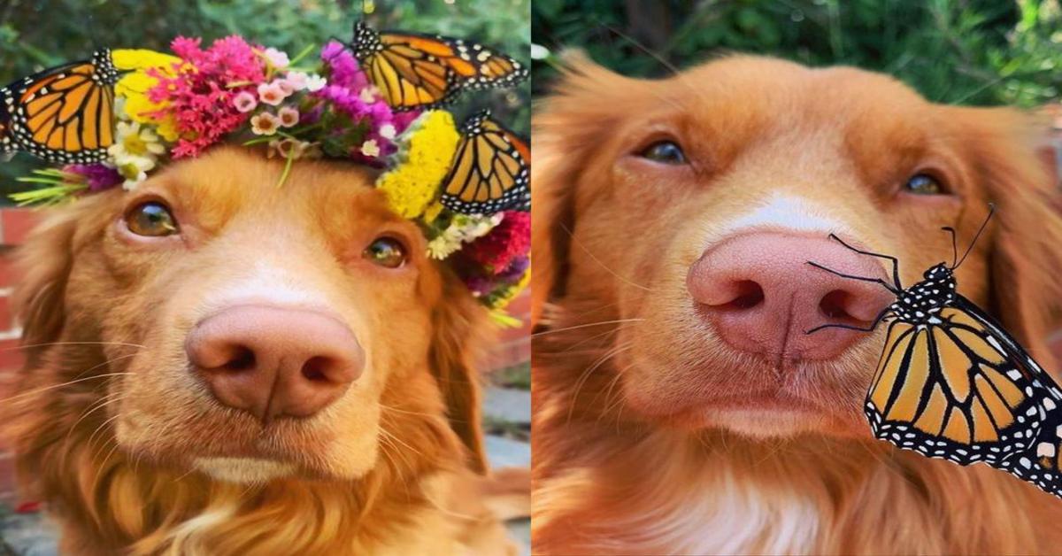 Milo, il cucciolo di Retriever Nova Scotia che adora le farfalle (VIDEO)