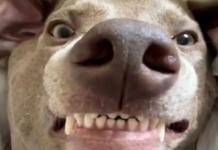 cane faccia buffa