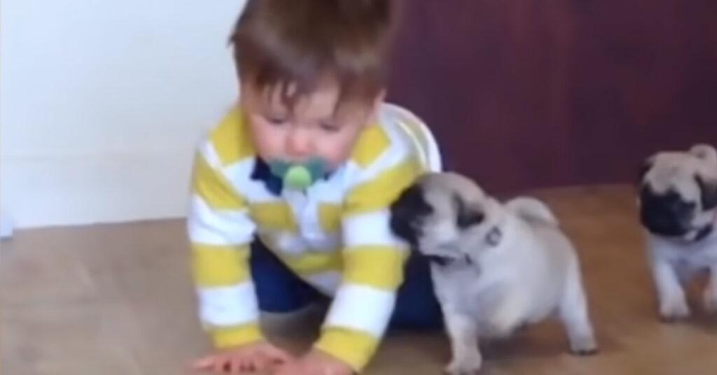 Adorabili cuccioli di Carlino vogliono giocare con un bambino (video)