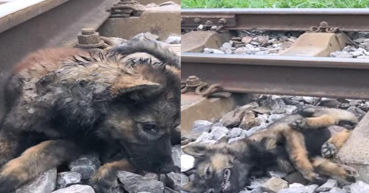 cucciolo ferito sui binari del treno