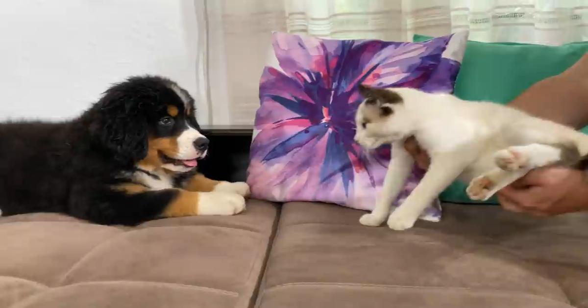 Un cucciolo di Bernese incontra un gattino per la prima volta (VIDEO)