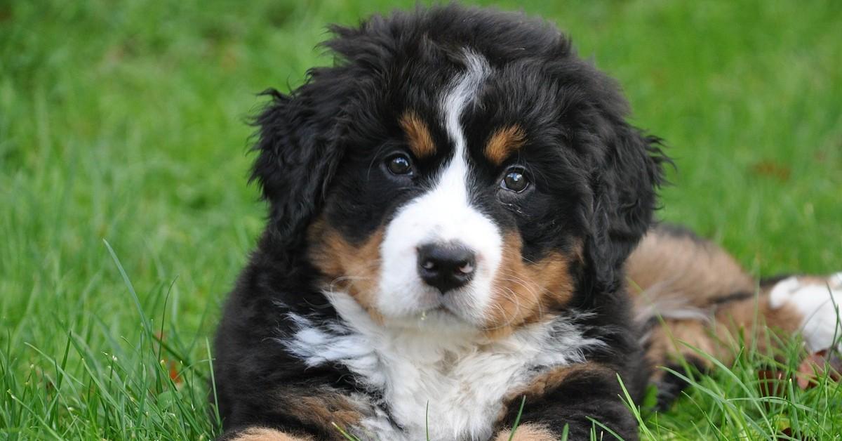 Bovaro del bernese va dal veterinario per la prima volta