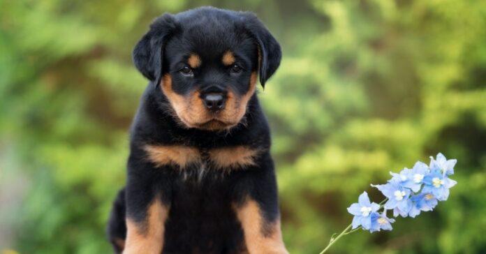 Cuccioli di Rottweiler e bambini