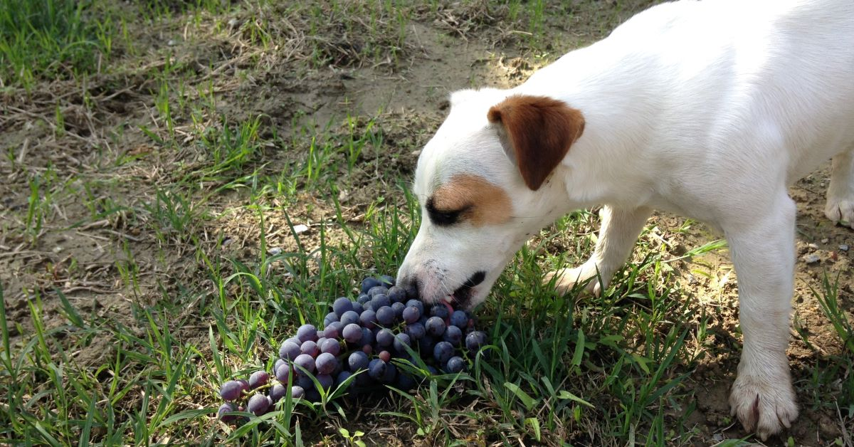 Cuccioli di Russell Terrier: carattere, particolarità e comportamento, cosa sapere