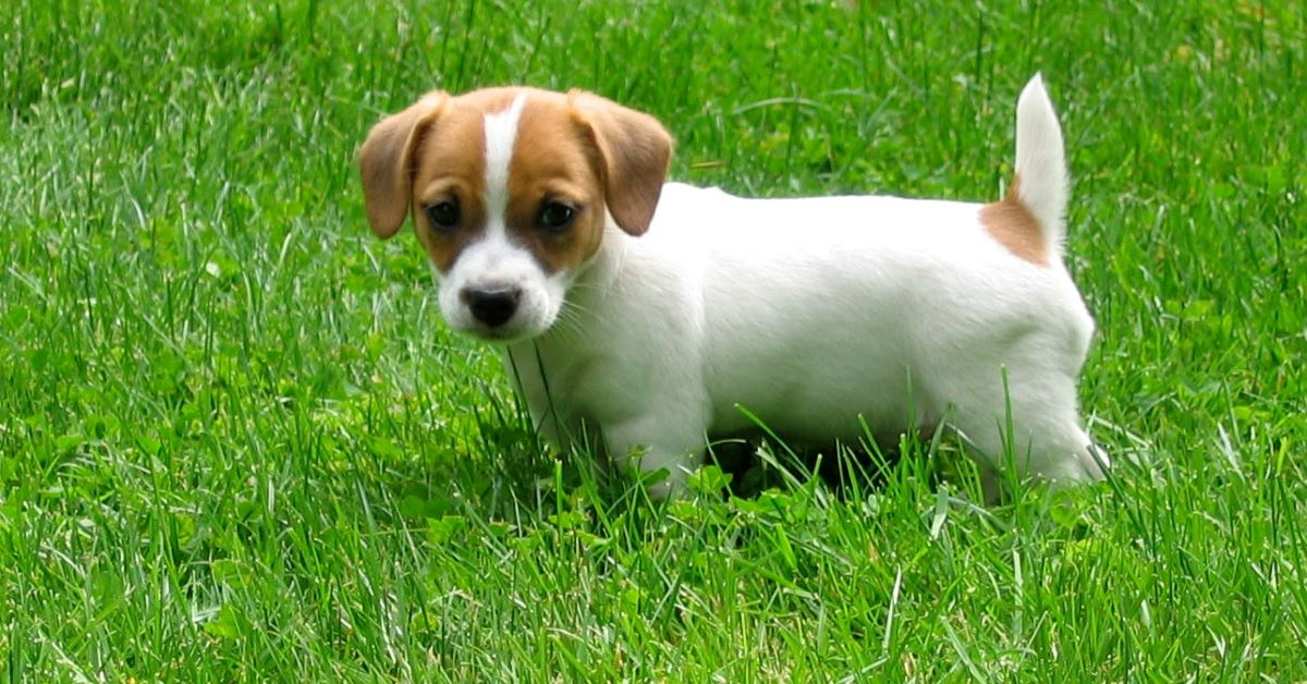 cuccioli di russell terrier