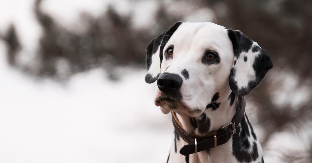 George, il cucciolo di dalmata che scende le scale per la prima volta  (VIDEO)