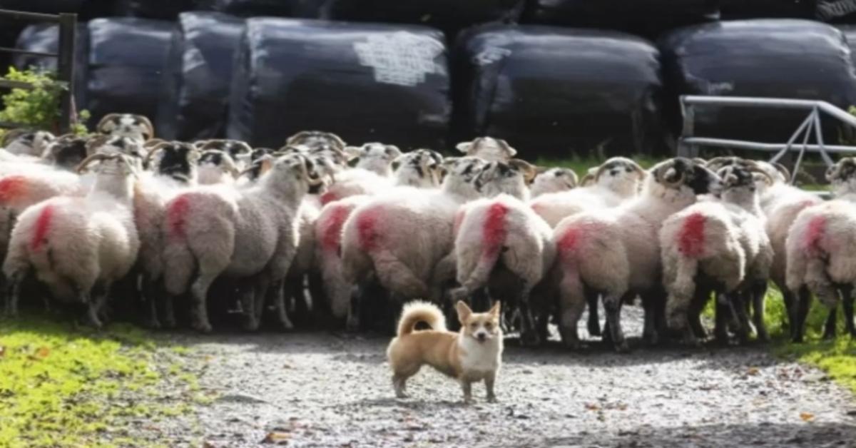 Daphne, il Corgi che lavora in fattoria con le pecore (VIDEO)