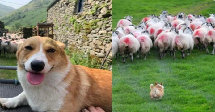 video Daphne Corgi pecore