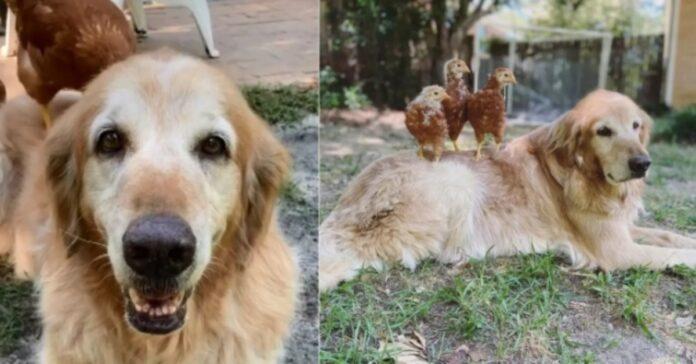Golden Retriever amico delle galline