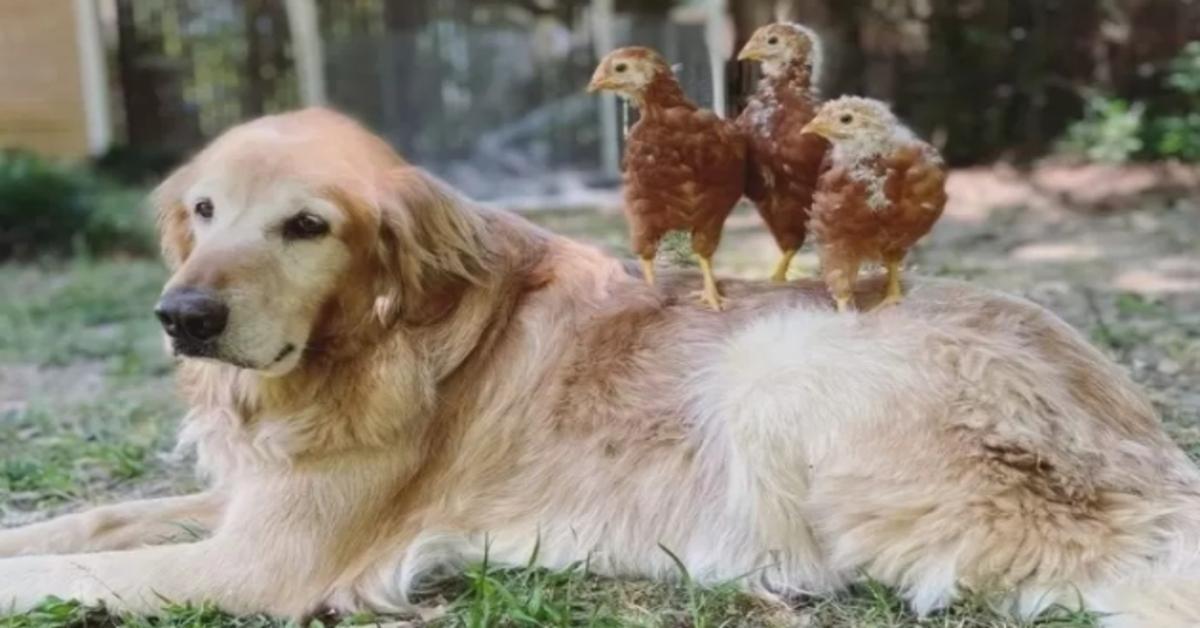 Finlay, il Golden Retriever amico delle galline (VIDEO)