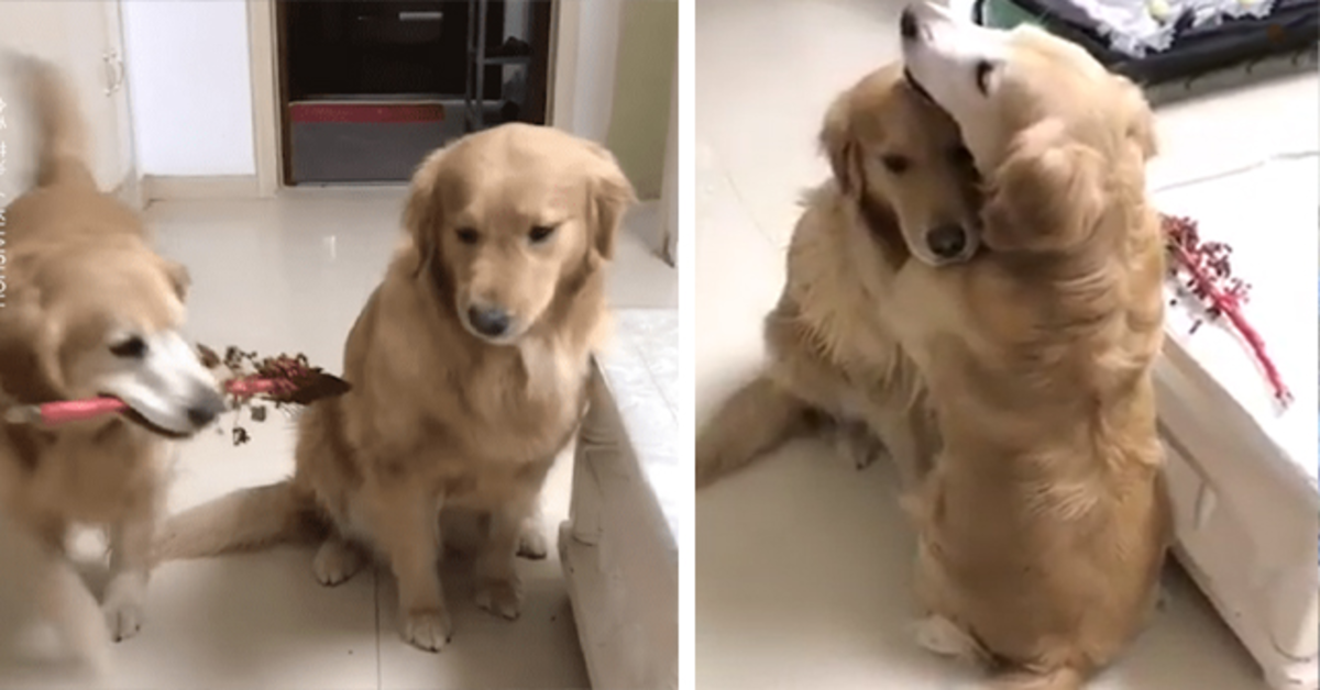 Il Golden Retriever romantico che regala dei fiori alla fidanzata (VIDEO)
