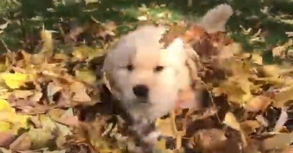 Gus Gus, il cucciolo di Golden Retriever che si diverte a giocare con le foglie (VIDEO)