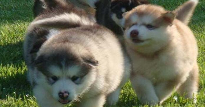 Cuccioli di Alaskan Malamute che giocano