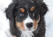 Cucciolo di Bovaro del Bernese nella neve