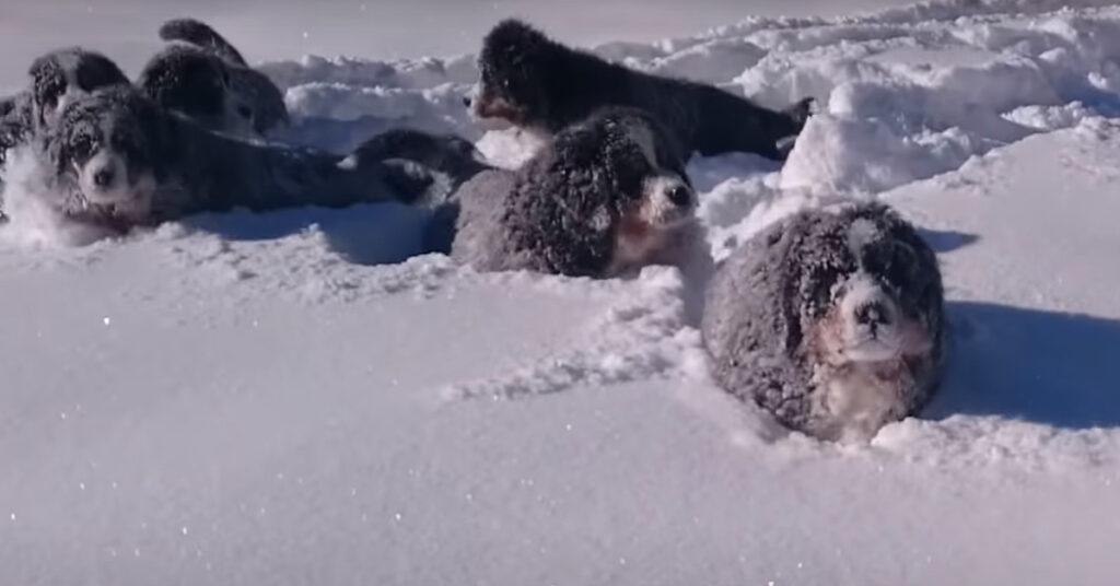 I cuccioli di Bovaro del Bernese scoprono la neve per la prima volta (video)