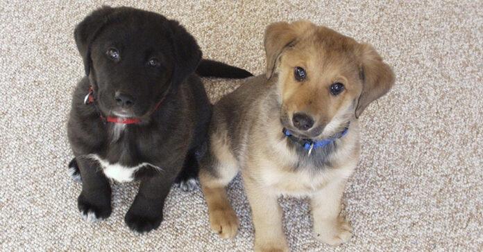 Cuccioli di Labrador guardano verso l'alto