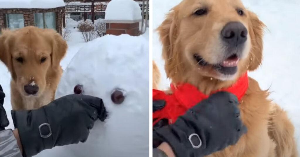 I due Golden Retriever sono entusiasti di realizzare un pupazzo di neve (video)