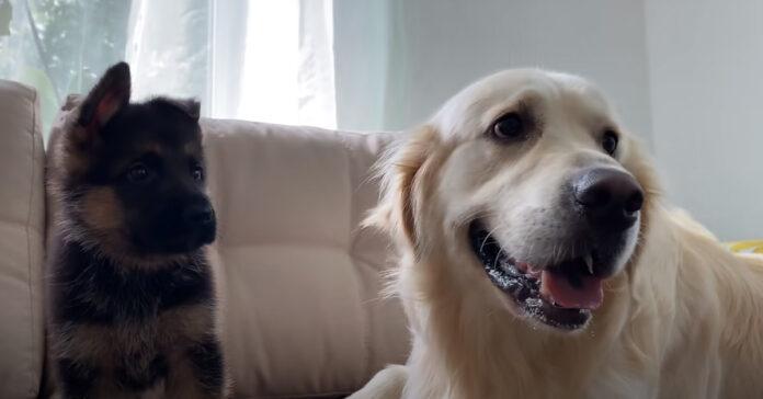Golden Retriever con un cucciolo di Pastore Tedesco