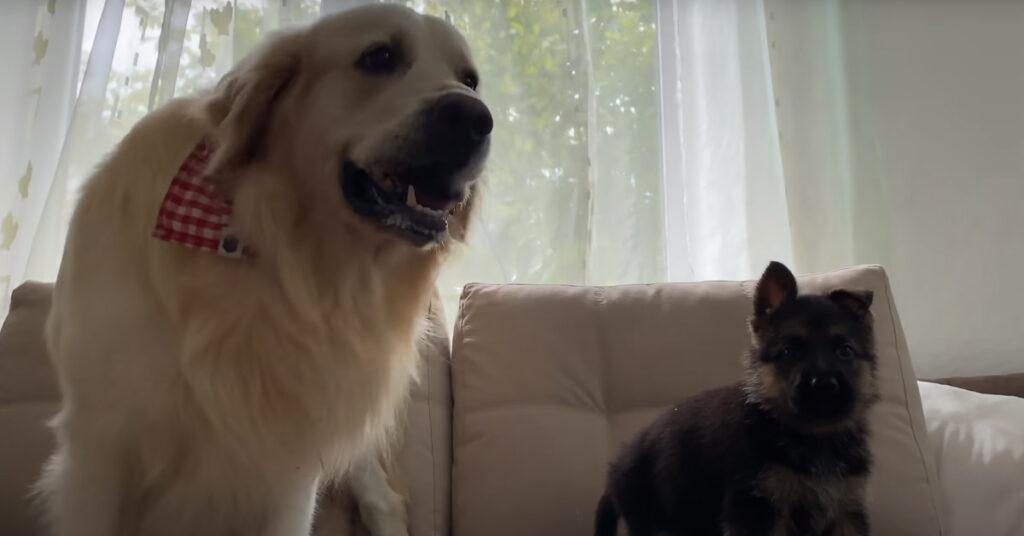 Il Golden Retriever incontra per la prima volta un cucciolo di Pastore Tedesco (video)