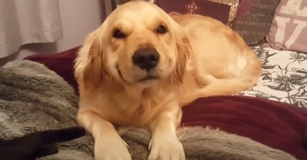 Il Golden Retriever sa di essere colpevole e prova a sorridere per togliersi dai guai (video)